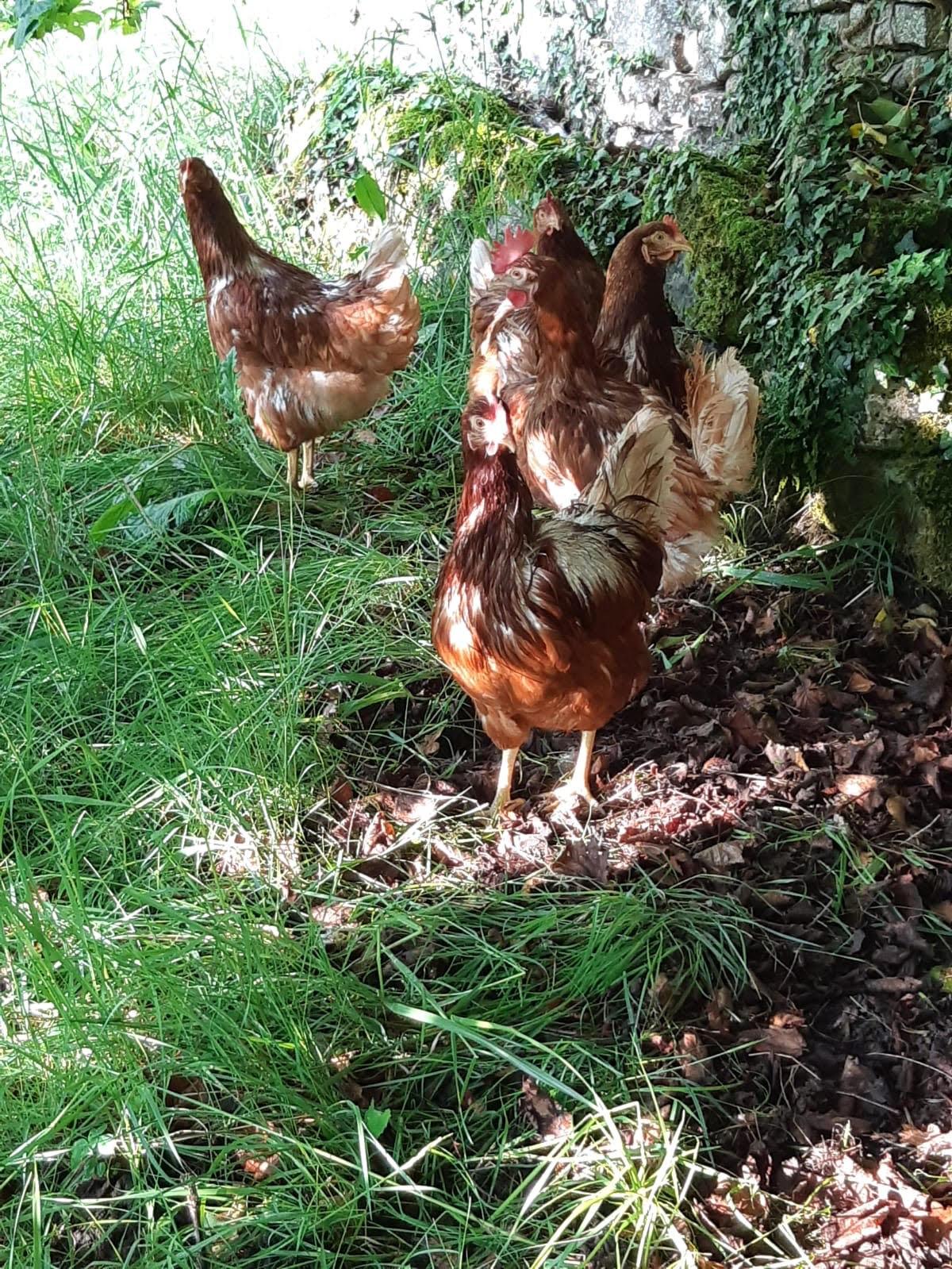 poules-permaculture-amiradou-drome-dieulefit