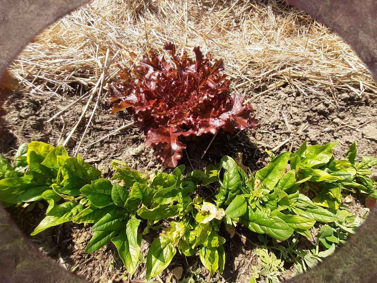 Potager-drome-amiradou-permaculture