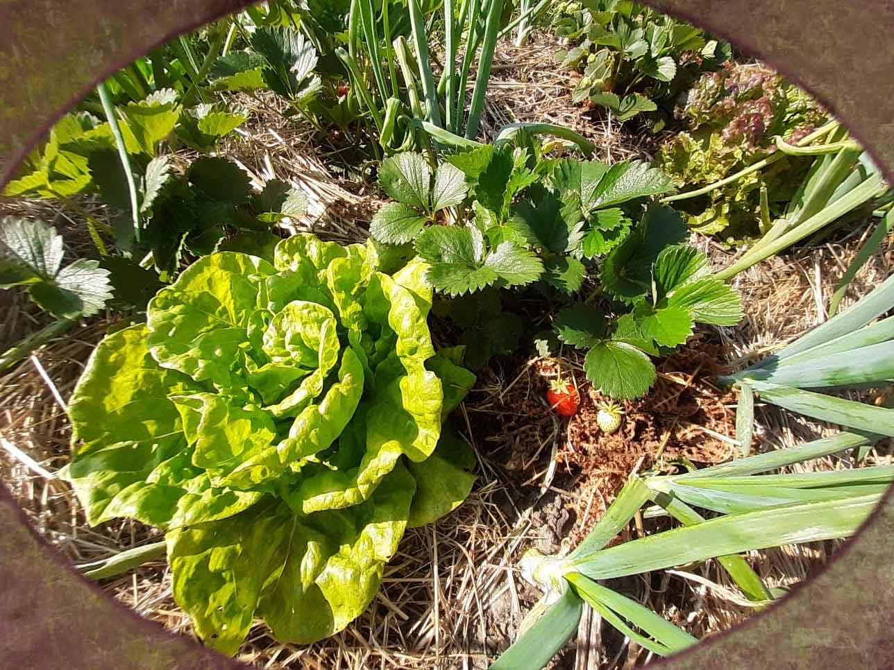 Salade et fraises du paPotager-drome-amiradou-permacultureotager